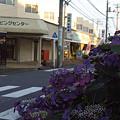 写真: 紫陽花 ご近所編 12