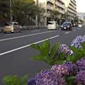 写真: 紫陽花 ご近所編 15