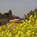 写真: 小湊鉄道の菜の花 05