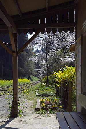 小湊鉄道の桜 10