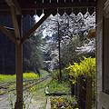 写真: 小湊鉄道の桜 10