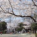 写真: 東戸塚の桜 10