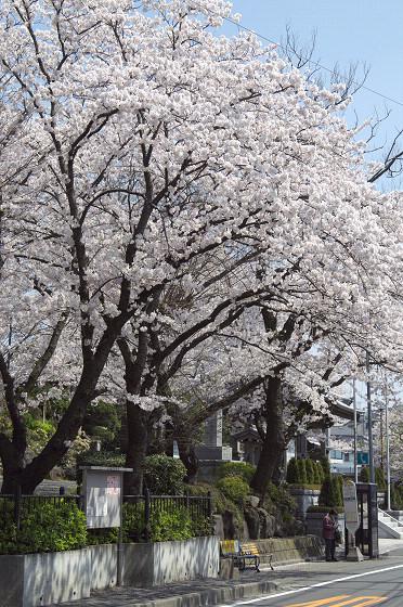 写真: 東戸塚の桜 17