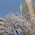 写真: 東戸塚の桜 21