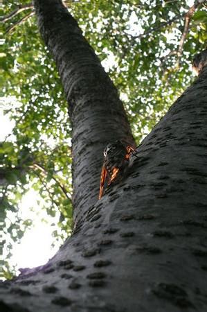 セミの鳴く木