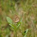 シックな蝶(カンボジア)