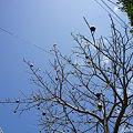 Photos: 09.04.18-38 ワタの木
