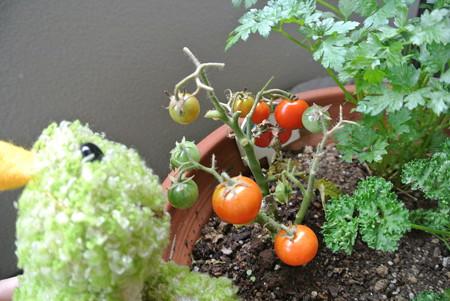 瀕死のトマト